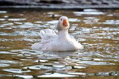 Domestic Goose, Greylag Goose Anser anser. Domestic goose on the lake Royalty Free Stock Image