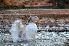 Domestic Goose, Greylag Goose Anser anser. Domestic goose on the lake royalty free stock photos