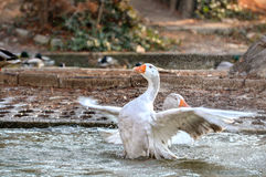 Domestic Goose, Greylag Goose Anser anser. Greylag goose Anser anser washing and cleaning his feathers Royalty Free Stock Images
