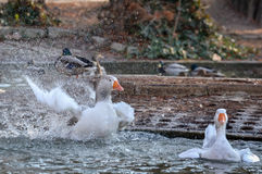 Domestic Goose, Greylag Goose Anser anser. Greylag goose Anser anser washing and cleaning his feathers Royalty Free Stock Image