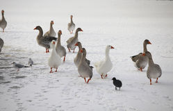 Domestic goose on  ice Stock Photos