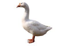 Free Domestic Goose Isolated Royalty Free Stock Images - 16182589