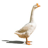 Domestic goose Royalty Free Stock Photos