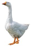 Domestic goose isolated on white background Royalty Free Stock Images
