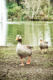 Domestic goose at the lake with fountain Royalty Free Stock Photography