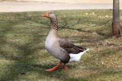 Domestic goose with an orange beak proudly walking. Domestic goose with an orange beak proudly walking in a park setting Royalty Free Stock Photo