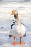 Domestic Goose Outdoor. One domestic goose in winter royalty free stock photo