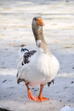 Domestic Goose Outdoor. One domestic goose in winter Stock Photo