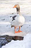 Domestic Goose Outdoor. One domestic goose in winter royalty free stock images