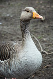 Domestic goose portrait Royalty Free Stock Photos