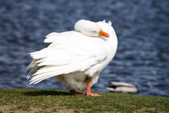 Domestic Goose Stock Photos