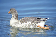 Domestic goose Royalty Free Stock Images