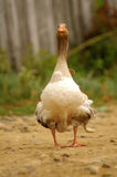 Domestic goose walking Stock Image