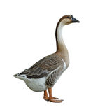 Domestic goose on white background Stock Images
