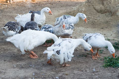 Domestic gooses Royalty Free Stock Photo