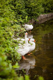 Domestic gooses. In the lake Royalty Free Stock Photography