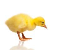 Domestic gosling Stock Photos