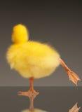Domestic gosling Stock Image