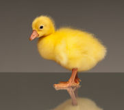 Domestic gosling Royalty Free Stock Photos