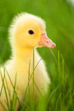 Domestic gosling. Cute little domestic gosling in green grass Stock Photos