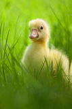 Domestic gosling Royalty Free Stock Image