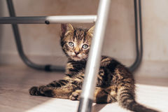 Domestic Gray Tabby Kitten Resting on the Floor Royalty Free Stock Image