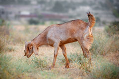 Domestic grazing goat Royalty Free Stock Image