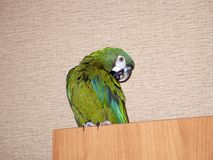 Domestic green parrot at the city apartments stock image