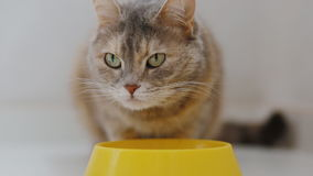 Domestic grey cat eating food. From yellow bowl stock footage
