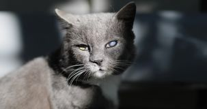 A domestic grey cat with white chest after fight with dogs. stock footage