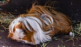 Domestic guinea pig Cavia porcellus