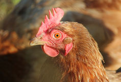 Domestic hen. S raised on organic product Stock Images