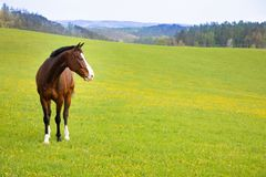 Domestic horse on a field. Czech republic stock photo