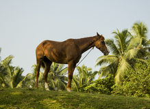 Domestic horse Stock Photo