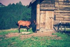 Domestic horse Royalty Free Stock Photo