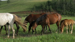 Domestic horses graze in a meadow. stock video footage