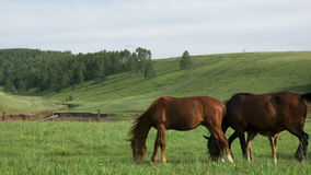 Domestic horses graze in a meadow. stock video