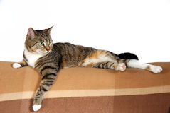 Domestic house cat. Portrait of a beautiful domestic house cat on the sofa, white background royalty free stock photo