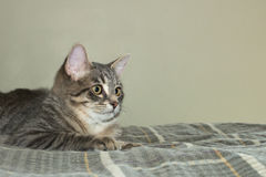 Domestic House Cat on a Bed Stock Photos