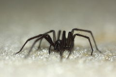 Domestic house spider Royalty Free Stock Images