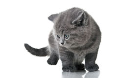 Domestic kitten Royalty Free Stock Photos