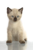 Domestic kitten Royalty Free Stock Photography
