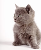 Domestic kitten Royalty Free Stock Image
