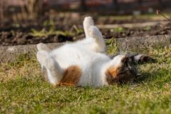 Domestic kitten is lounge around on the lawns. Rest in hot days. Felis catus is sleeping on back in grass. Frolic in the garden. Best friend is lying on back stock image