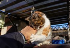 Domestic kitten is playing with my hand on deffender and attacker. Cat doggedly fighting with my fingers. Animal hunting. Ready. For hunt. Playful cat. Claws in royalty free stock images