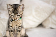 Domestic Kitten. Sad looking kitten with soft focus background Stock Photos