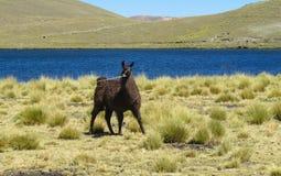 Domestic lama Stock Photo