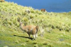 Domestic lama Stock Photos