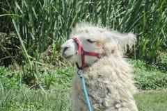 Domestic lama animal Royalty Free Stock Images