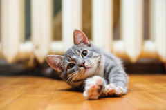 Domestic lazy short-haired young whiskered cat lying and stretch Stock Photo